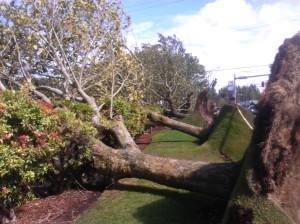 Fallen trees - wind storm