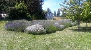 Lavender clusters